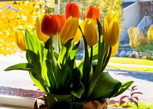 Как вырастить дома тюльпаны